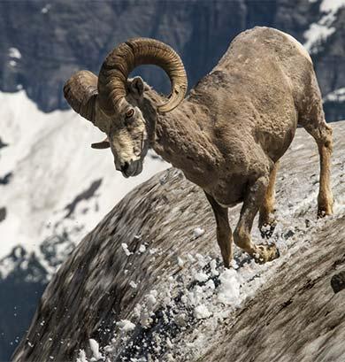 Mountain goat slipping down a mountainside.